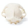 Ægte kattekranie (Felis catus) i naturlig størrelse med bevægelighed i kæben