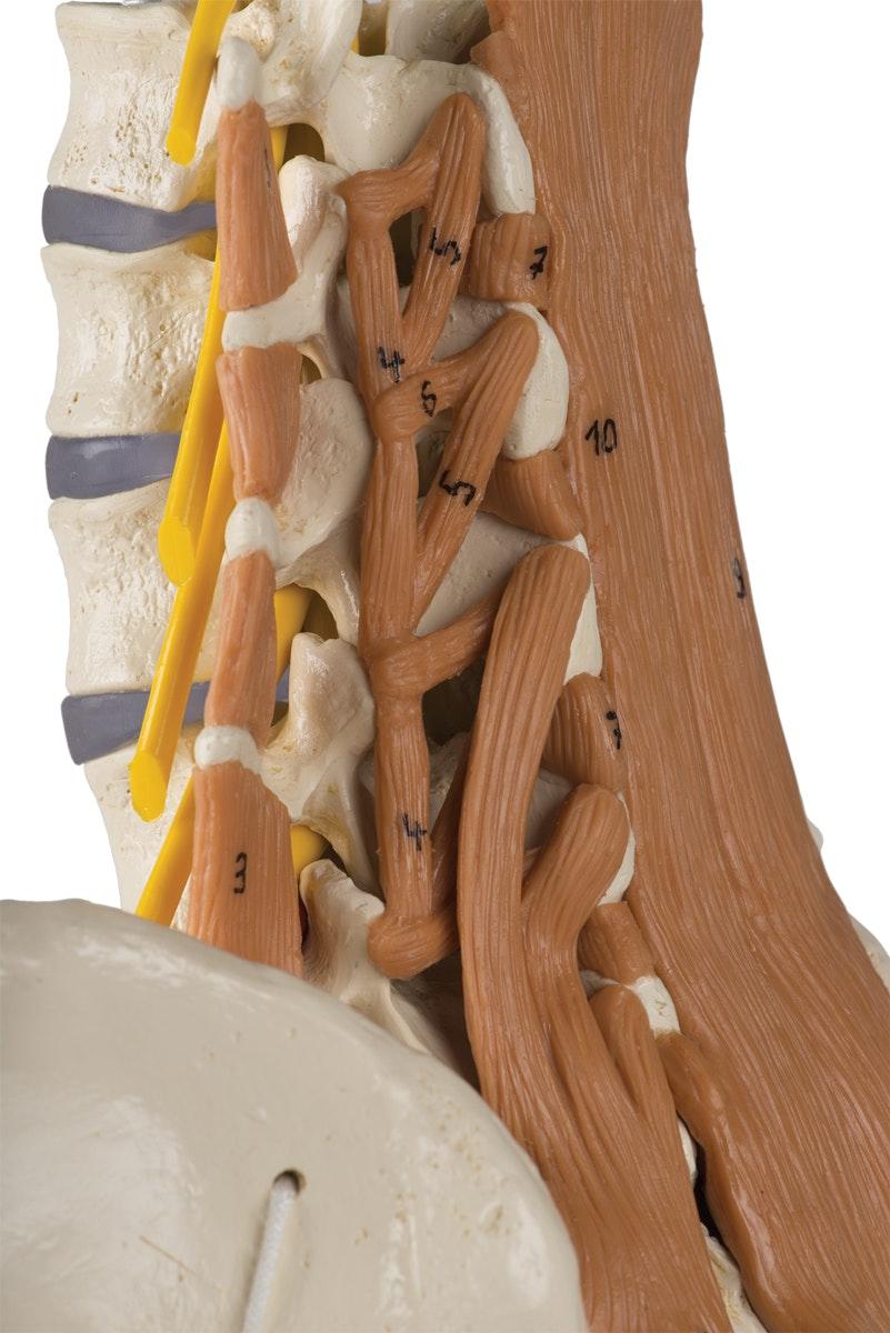 Model af lænden med spinalnerver og muskler samt bækkenet