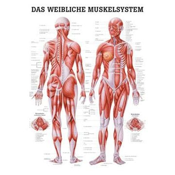 Lamineret muskelplakat med illustrationer af en kvinde på latin (men tysk overskrift)