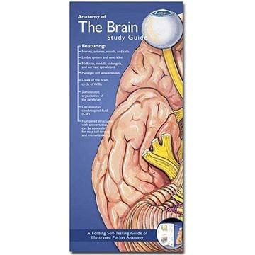 Hjernen anatomisk folder