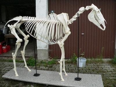 Ægte hesteskelet i naturlig størrelse præsenteret på et stativ med hjul