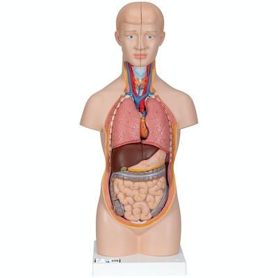 Formindsket torsomodel i 12 dele uden kønsorganer