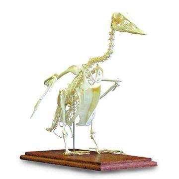 Domestic goose (Anser anser)