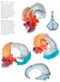 Kraniemodel med pædagogisk farvet knogler samt halshvirvler og tungebenet. Kan adskilles i 14 dele