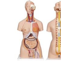 Detaljerad torso-modell med 27 avtagbara delar (ljusthyad och utbytbara könsorgan)