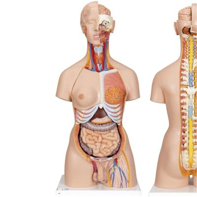 Meget detaljeret torso med 27 udtagelige dele, åben ryg, lys hud og udskiftelige kønsorganer