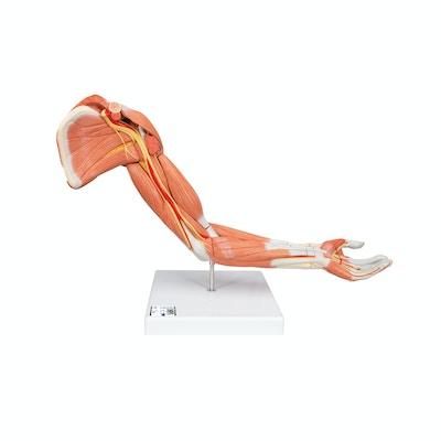 Muskel arm model