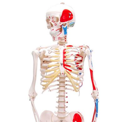 Miniskjelett 80cm med muskelangivelser