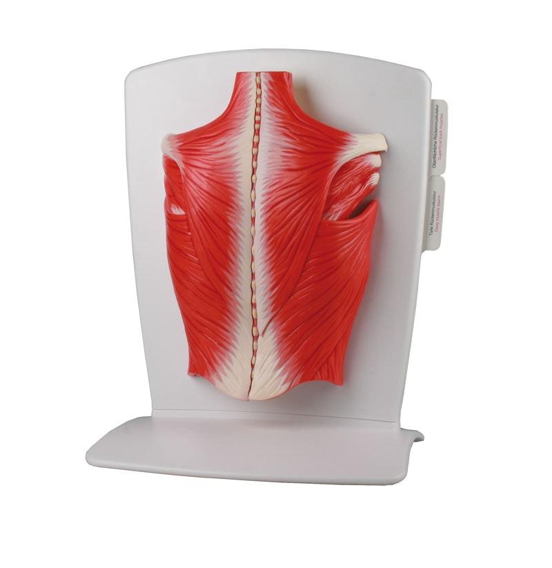 Innovativ og detaljeret model af ryggens overfladiske og dybe muskler - kan adskilles i 4 dele