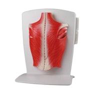 Innovativ og detaljert modell av ryggens overfladiske og dype muskler - satt sammen av 4 deler