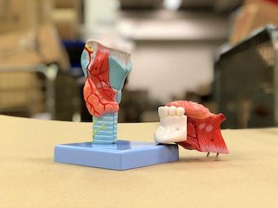 Strubemodel med stemmelæber og flere andre væv. Kan adskilles i 5 dele