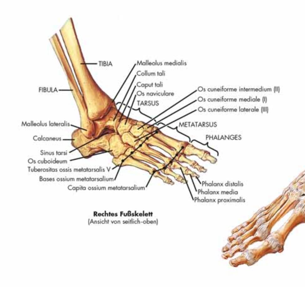 Skeletplakat ren latin (das menschilche skelet)