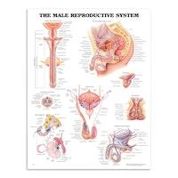 Plakat om mandens kønsorganer med tekst på engelsk