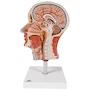 Komplet og detaljeret muskelmodel af hovedet og halsen som er halveret