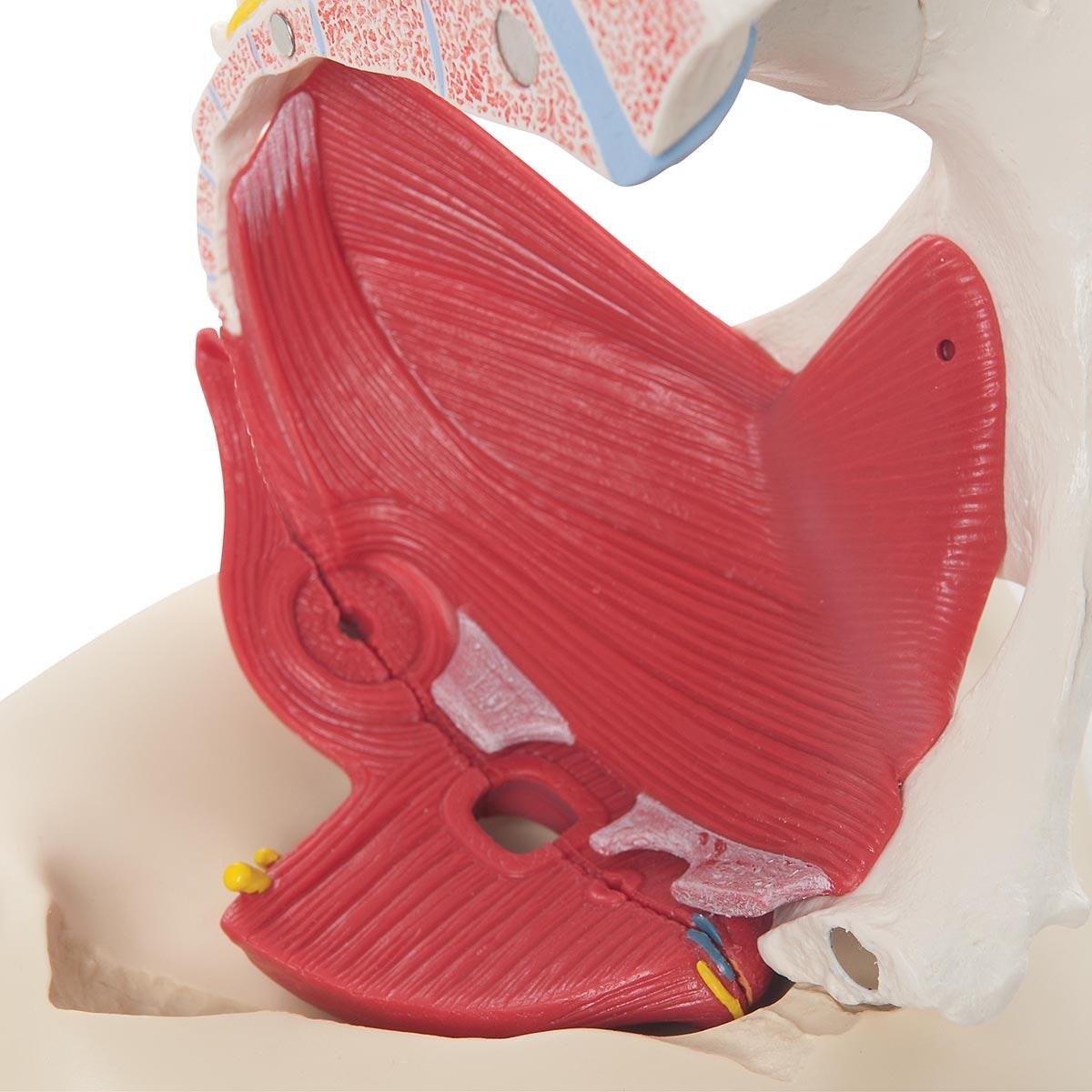 kvindelig bækkenmodel med ligamenter og detaljeret bækkenbund i 6 dele