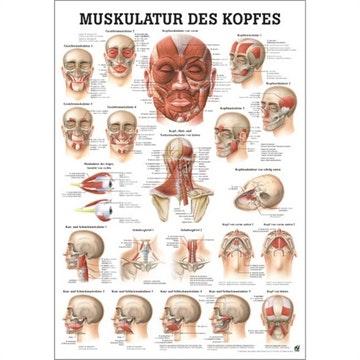 Lamineret muskelplakat om hovedets muskler m.m. på latin & tysk