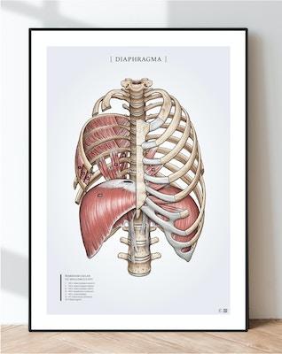 Plakat om åndedrætsmusklen diaphragma og ribbensmusklerne