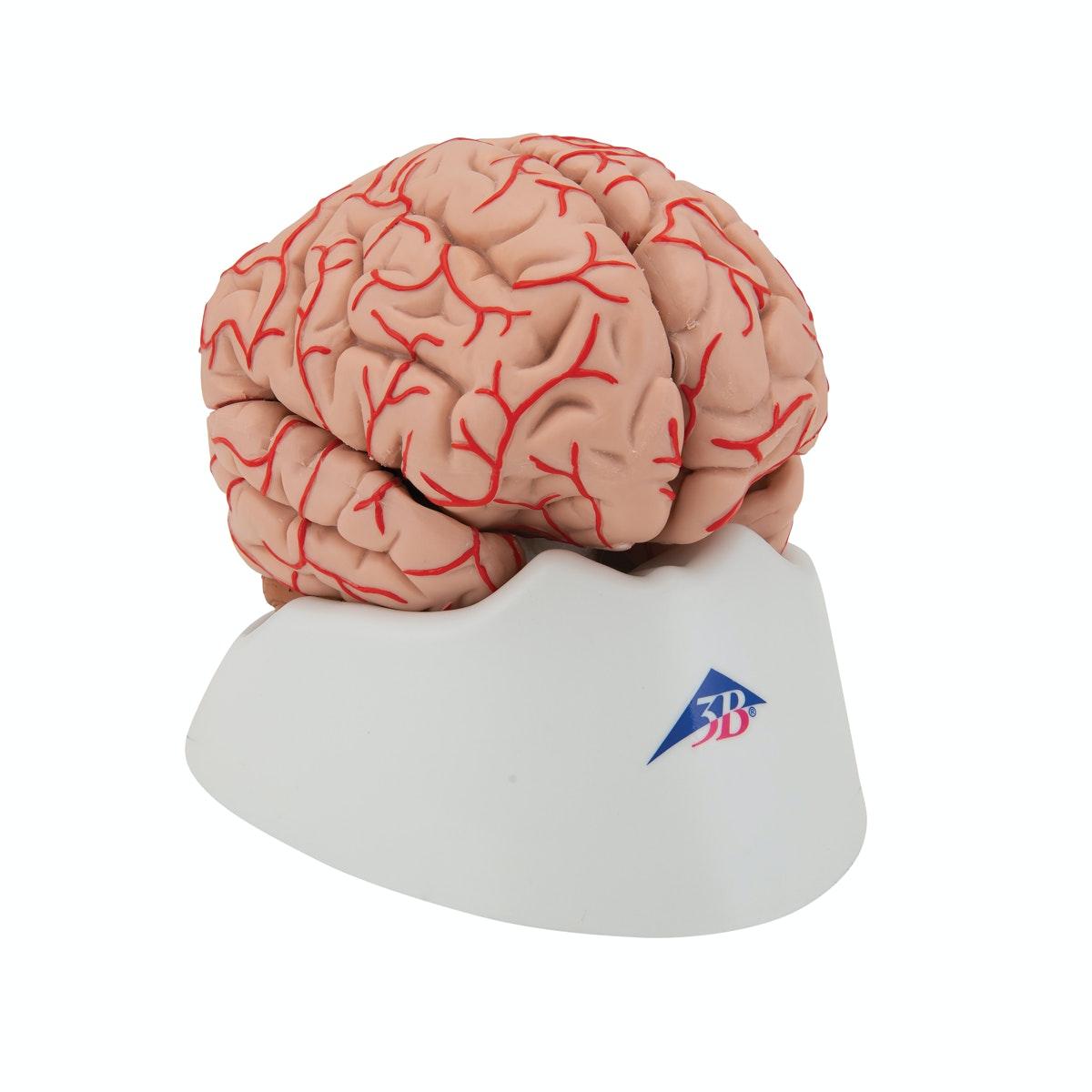 9-delt hjerne med arterier
