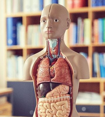 Torso / organdukker
