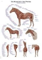 Plakat med hestens muskler på latin, tysk og engelsk