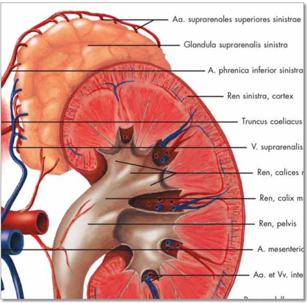 Urinvejssystemet anatomi og patologi lamineret med ringhuller