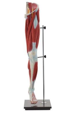 Komplet muskelmodel af venstre ben - kan adskilles i 13 dele