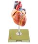 FORSTØRRET og yderst detaljeret hjertemodel med impulsledningssystemet