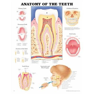 Tændernes anatomi lamineret plakat engelsk (Anatomy of the teeth)
