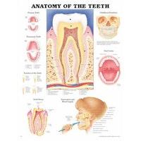 Lamineret plakat om tænderne og mundhulen på engelsk