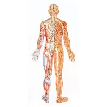 Nervesystemet bagfra med trælister