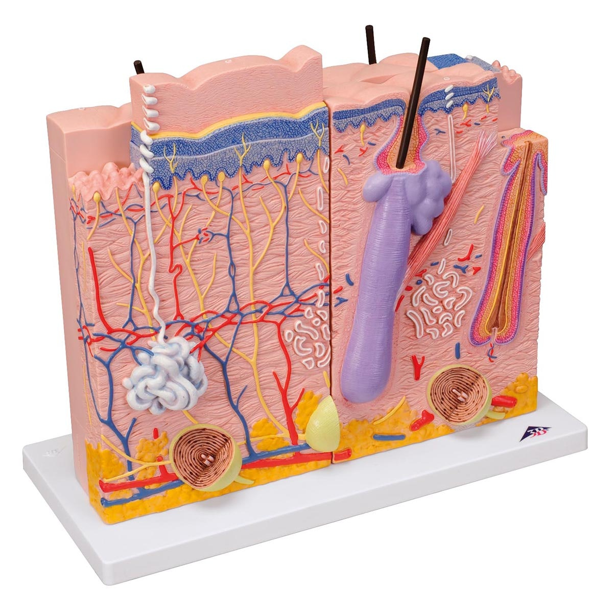 3-delt hudmodel
