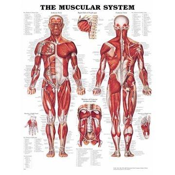 Anatomiske plakater