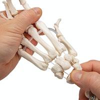 Model af håndens skelet samlet på elastikker samt begge underarmsknogler