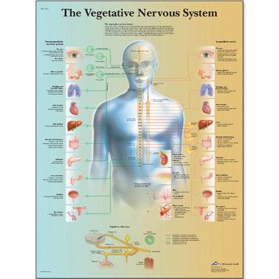 Det autonome nervesystem (The vegetative nervous system) lamineret plakat 51x67 cm engelsk