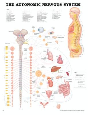 Plakat om det autonome nervesystem på engelsk