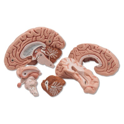 Hjernemodel afstøbt efter præparat