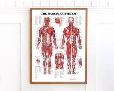 Muskelplakater & ledplakater
