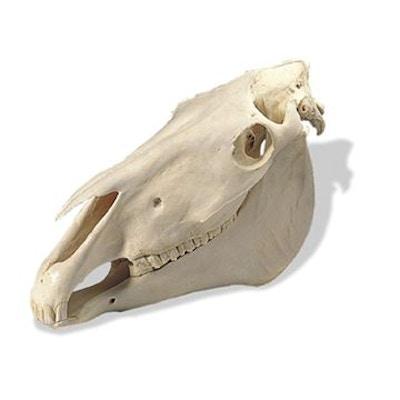 Ægte hestekranie (Equus ferus caballus)