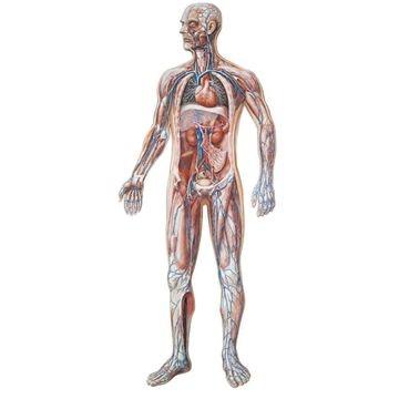 Plakat om kredsløbet og indre organer med nummeringer samt medfølgende oversigt (inkl. trælister)