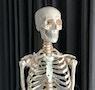Altay Scientific - Detaljerat skelett