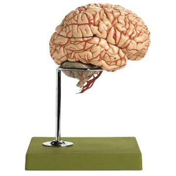 SOMSO Hjerne med arterier