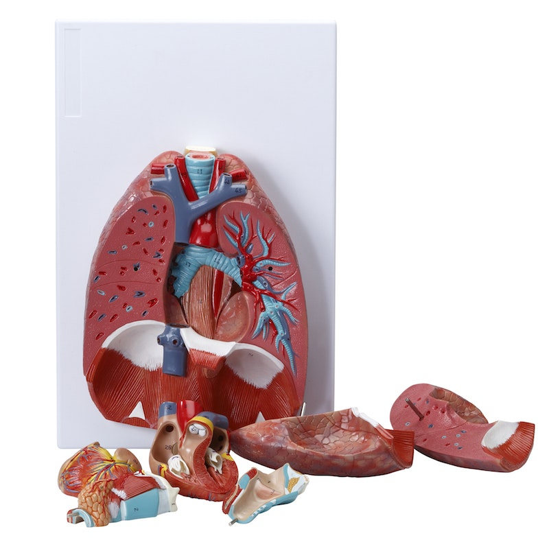 Anatomisk model af åndedrætssystemet