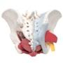 Bækkenmodel der viser bækken-bunden, kønsorganer, ledbånd, nerver og blodkar hos kvinden