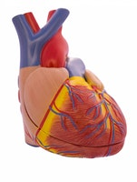 Klassisk detaljert hjerte i naturlig størrelse