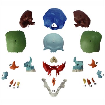 22 delt farvet kraniemodel af voksen