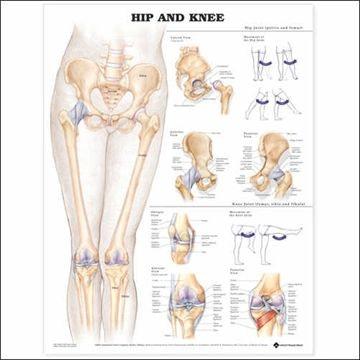 Hofte & knæplakat lamineret engelsk (Hip & Knee)
