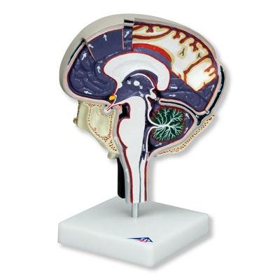 Cirkulation af cerebrospinal væske