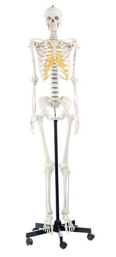 SOMSO kvindelig skeletmodel