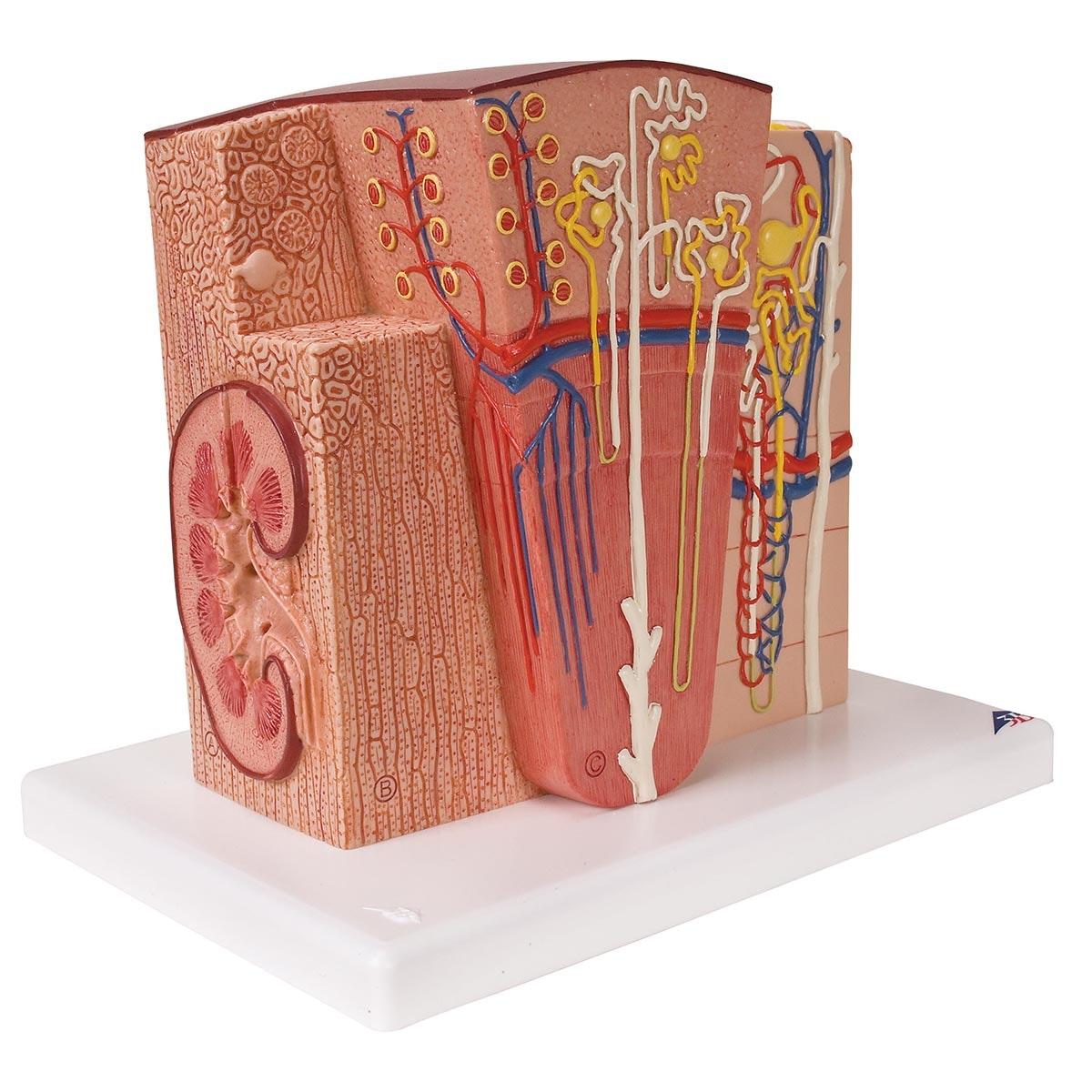 Detaljeret model af nyrens forskellige væv og celler i et mikroskopisk perspektiv