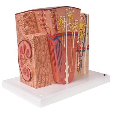 Detaljert modell av nyrens vev og celler i et mikroskopisk perspektiv